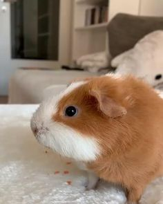 Baby Animals Pictures, Cute Animal Photos, Cute Animal Videos, Animals And Pets, Wild Animals, Cute Little Animals, Cute Funny Animals, Guniea Pig, Baby Guinea Pigs