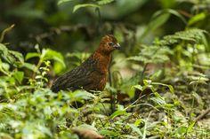 Chestnut wood quail,Odontophorus hyperythrus