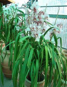 Cymbidium - da argraria.org - consigli di coltivazione Cymbidium Orchids, Orchid Care, Plant Care, House Plants, Leaves, Nature, Flowers, Gardening, Cactus