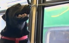 Black labrador called Eclipse rides a Seattle bus route to a local dog park   all by herself, much to the delight of her fellow passengers