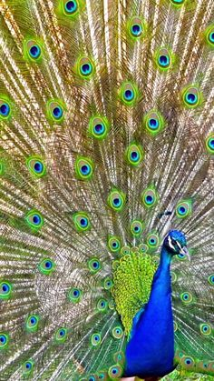 Beautiful Nature Scenes, Beautiful Gif, Beautiful Birds, Animals Beautiful, Peacock Images, Peacock Pictures, Cute Wild Animals, Funny Animals, Wallpaper Nature Flowers