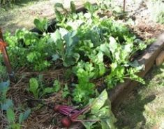 Photo tutorial for making an easy no dig vegetable garden, including photos of the garden over several weeks after planting.