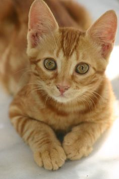 32 Beautiful Examples Of Cat Photography Orange Tabby Cats, Red Cat, Cute Cats And Kittens, Kittens Cutest, Ragdoll Kittens, Funny Kittens, Bengal Cats, White Kittens, Black Cats