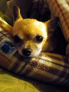 Chihuahua Puppy #dogs #animal #chihuahua