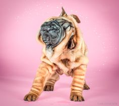 Hilariously Cute Photographs of Puppies Caught Mid Shake by Carli Davidson