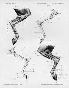 These are lateral views of the musculoskeletal system of the left hind limb. Citation:  Ellenberger, Wilhelm, Hermann Baum, and Hermann Dittrich. 1898. Handbuch der Anatomie der Tiere für Künstler. Leipzig: Dieterichsche Verlagsbuchhandlung.