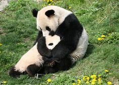 Mother panda giving her little panda some comfort