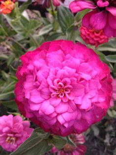 Ombré zinnias Zinnias, Planting Seeds, Growing Plants, Rose, Garden, Flowers, Pink, Garten, Lawn And Garden