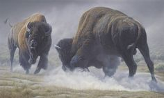Bison Return to Tribal Lands   BlueFeatherSpirit