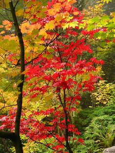 ~~Red and gold autumn foliage~ Japanese Gardens, Portland, Oregon by Just Peachy!~~