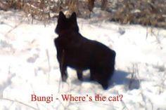 Meet Bungee, a Petfinder adoptable Schipperke Dog | Dallas, TX | Bungee - AKC registered number NP16400207 -- Yellow Rose De Bexar -- Breeder Karen Casto (did not...