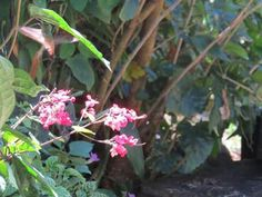 Dulce y tan rosada para un colibrí (Penonomé)