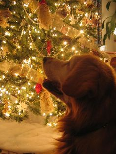 I would love to take a picture of Duke like this :) Merry Christmas!