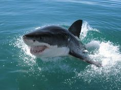 What a fantastic action shot from our shark conservation programme…