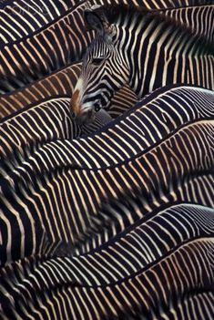 "Zebras. Visit Facebook: ""Animals are Awesome"". Animals, Wildlife, Pictures, Photography, Beautiful, Cute."