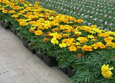 Floraplast flats are considered best in class because of their rounded corners and rolled edges. This True size Flat has inner ribs to secure inserts and to strengthen the tray. Round Corner, Black Flats, Horticulture, Ribs, Tray, Pocket, Plants, Black Flats Shoes, Vegetable Gardening
