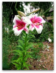 Orienpet Lilies: fragrant showstoppers