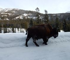 Yellowstone NP Lamar Valley Bison