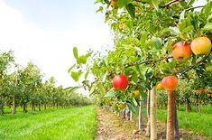 This working apple orchard turns its harvest into freshly pressed cider, fried pies, apple butters and more. The Apple Barn Cider Mill & General Store, Inc. Apple Picking Season, Perennial Vegetables, Natural Ecosystem, Agriculture Farming, Low Maintenance Plants, Apple Orchard, Apple Tree, Red Apple, Fruit Trees