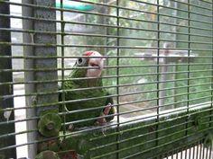 Puerto Rico Saving Parrots