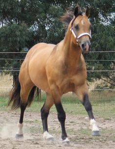 buckskin horses | Buckskin Quarter Horse, Banqueros Cocoa Chip