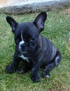 French bulldog puppy frenchie Gambit