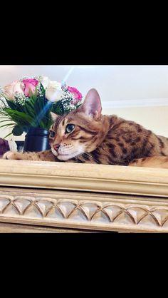 Sultan Bengal cat