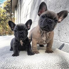 French Bulldogs. (*) Twitter
