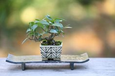 Bonsai Tree Types, Bonsai Tree Care, Bonsai Plants, Bonsai Mame, Miniature Trees, Mini Plants, Garden Terrarium, Planted Aquarium, Growing Tree