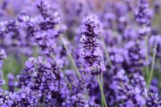 Lavender in flower