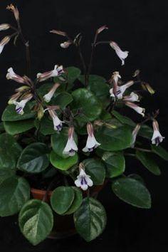 bouvardia indoor plants pinterest. Black Bedroom Furniture Sets. Home Design Ideas