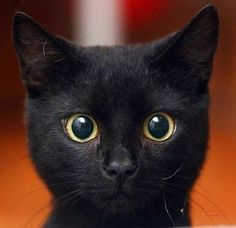 Black cat / Great gift for anyone who loves cats / Beautiful eyes / Art adhered to wood or print to frame yourself / Made in the USA - Katzen und andere Tiere - Animals And Pets, Baby Animals, Funny Animals, Cute Animals, Animals Images, Anime Animals, Pretty Cats, Beautiful Cats, Animals Beautiful