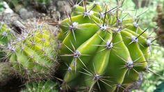 Annemin balkonundan kaktus