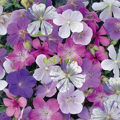 10pcs Rare Geranium Seeds 'Reflections' Pelargonium Perennial Flower Seeds Hardy Plant Bonsai Potted Plant Free Shipping