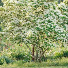 Hawthorn - Hawthorn announces early summer with its sprays of white flowers. Pollinators such as bees and butterflies love the blooms. Then in late summer and fall, it attracts birds with its small red fruits. The orange-red autumn color adds another layer of appeal.