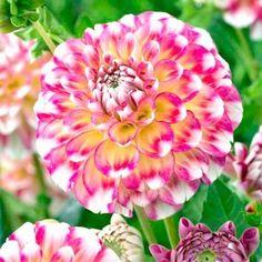 Grow Your Secret Garden Dahlia Diablo Seeds