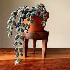 Hanging plants. String plants. Plantsbank. Houseplants