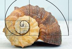 """I chose this image for """"Frame and Surface'' because I thought it was a unique way of representing the """"Fibonacci Spiral"""" in relation to a similar looking seashell. bing.com/images"""