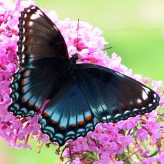 Red Spotted Purple Butterfly (White Admiral)