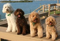 Labradoodles..... The one on the far left looks just like my ginormous love, Fanny Elizabeth VonDoodle Turville