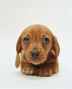 "Dachshunds have the best puppy dog eyes out of every dog breed and they strategically use them to get more cuddles and treats. These dachshunds have perfected the ""puppy dog eyes look"", how could you say no to these faces? Cute Puppies, Cute Dogs, Dogs And Puppies, Cute Baby Animals, Funny Animals, Wild Animals, Cute Dog Photos, Puppy Pictures, Puppy Dog Eyes"