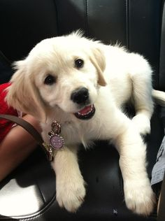 English Cream Golden Retriever OMG