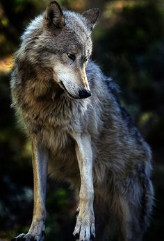 King of the Hill (by jeremyweber) Wolf Wolf Photos, Wolf Pictures, Animal Pictures, Beautiful Creatures, Animals Beautiful, Tier Wolf, Animals And Pets, Cute Animals, Baby Animals