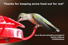 Readers in northern areas gave been reporting that their hummingbirds have already migrated and some…