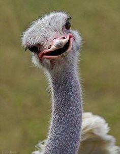 Like I am soo funny! Baby Animals, Funny Animals, Cute Animals, Bird Pictures, Cute Animal Pictures, Beautiful Birds, Animals Beautiful, Ostrich Funny, Funny Animal