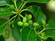 Blackgum (Nyssa sylvatica) fruits