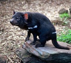 Tasmanian Devil Endangered Species