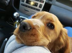 Mamma dove andiamo?  Foto di: @eleonoraipp #BauSocial ... #dog #cane #shoot #muso #bellissimo #love #loveher #mygirl #faccebuffe #coccoletime #cocker #bestfriends #nofilter #photooftheday #like #likeher #likeback #sweet #car #instafamous #amazing #beautiful