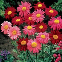 Chrysanthemum - repel: Roaches, fleas, ticks, bedbugs, lice, silverfish, ants, and so much more