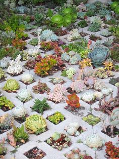 Succulents are extremely simple to propagate. They are mostly desert plants and can tolerate a lot of sunlight. Freshly planted succulents or propagat. Succulent Landscaping, Succulent Gardening, Cacti And Succulents, Planting Succulents, Planting Flowers, Organic Gardening, Garden Landscaping, Dream Garden, Garden Art